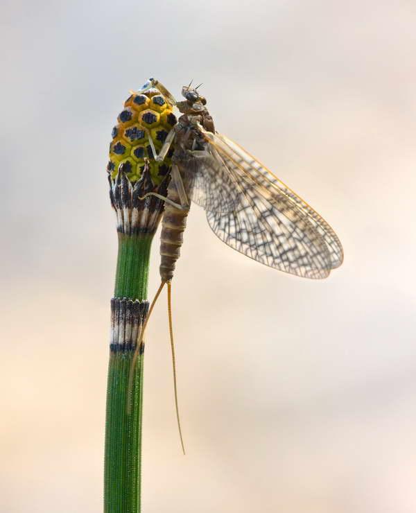 Mayfly on a stalk