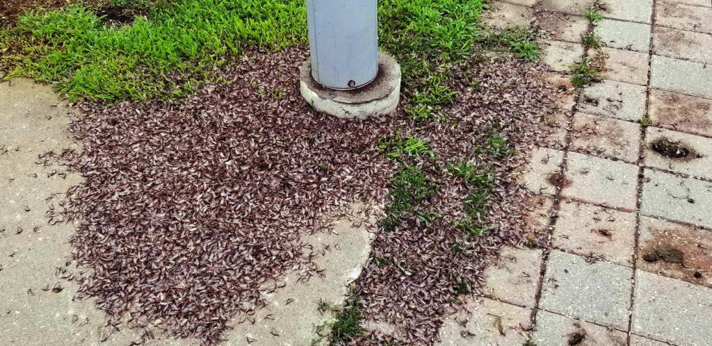Dead Mayflies around ligh pole